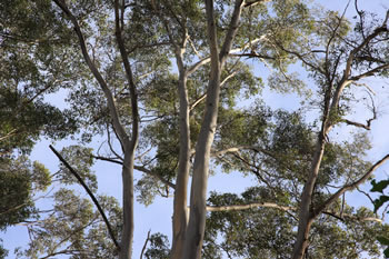 Karri Trees of Denmark